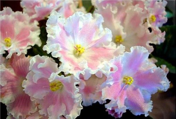 Бело-розовый зефир